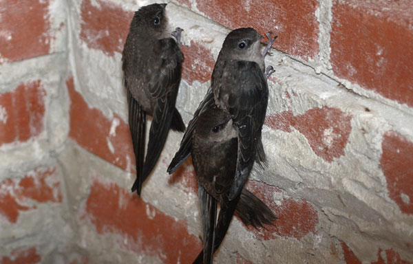 In Virginia, Chimney Swifts