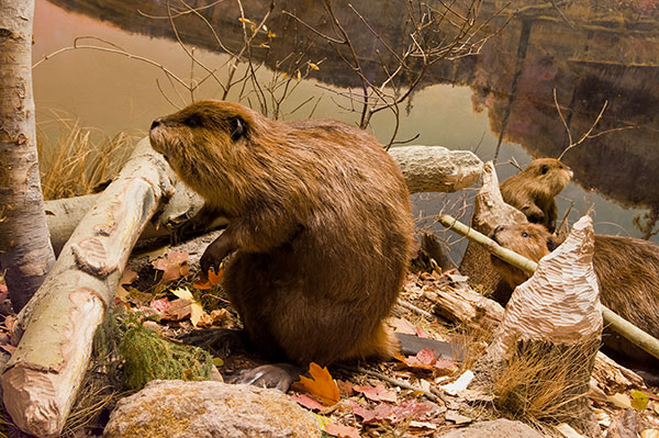 Animal Removal Services of Virginia beaver removal services can help if beavers are taking down your trees