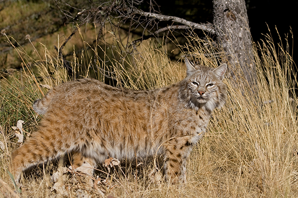 Virginia bobcats live in the Barbours Creek section of Craig, Poor Valley in Bland and Tazewell, parts of Augusta, the Alleghany Mountains through Highland, Bath and Alleghany, the Massanutten Range, and parts of Wise, Lee and Scott Counties but they are present throughout Virginia.