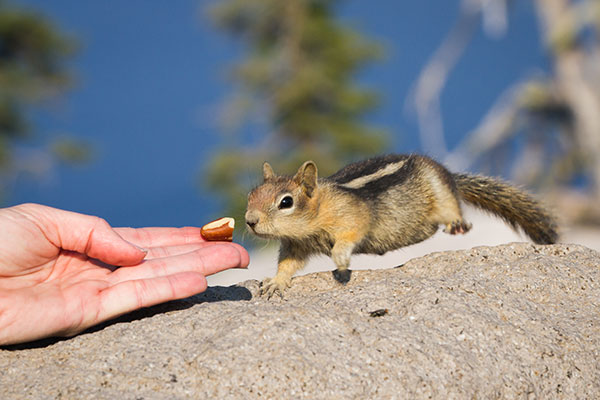 Chipmunks can be a nuisance. Call Animal Removal Services of Virginia for our chipmunk removal services