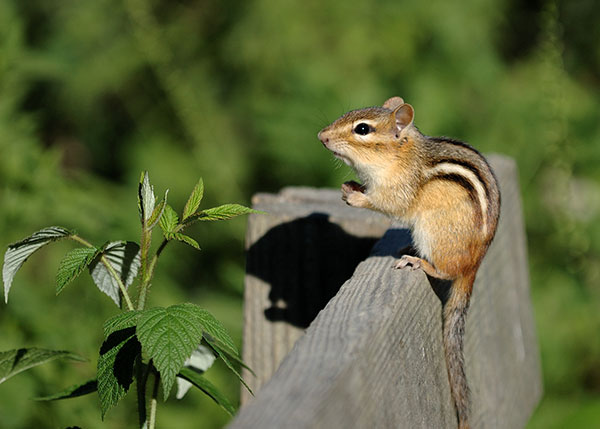 Virginia Chipmunks can be very friendly and quite cute. But they are not so cute when they start burrowing throughout your property.