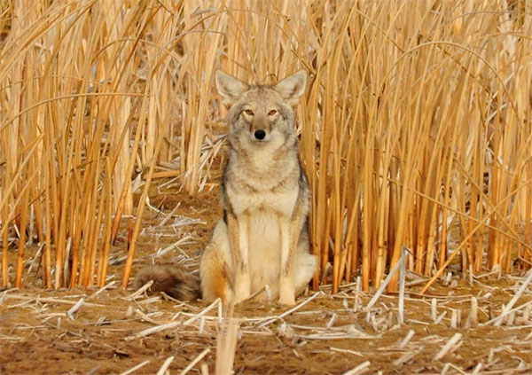 Coyotes will attack you Virginia pets so be careful. Call Animal Removal Services Of Virginia coyote trapping removal services.