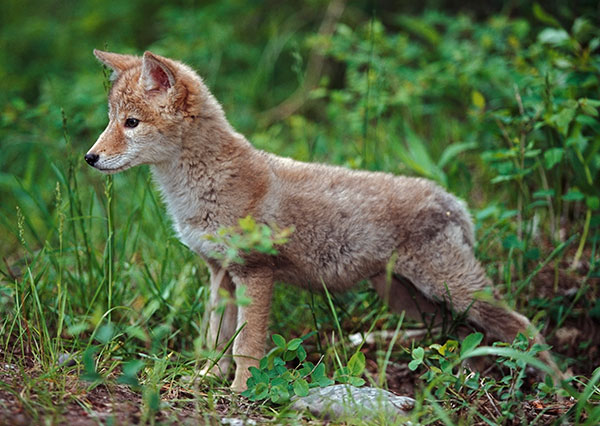 Animal Removal Services of Virginia prefers to modify your habitat so they will not have to kill a coyote on your property.