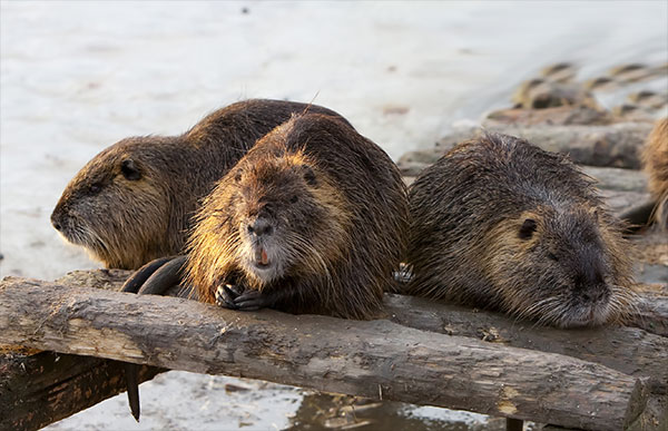 Let Animal Removal Services Of Virginia – The Beaver Removal & Trapping Experts help remove beavers from your property.