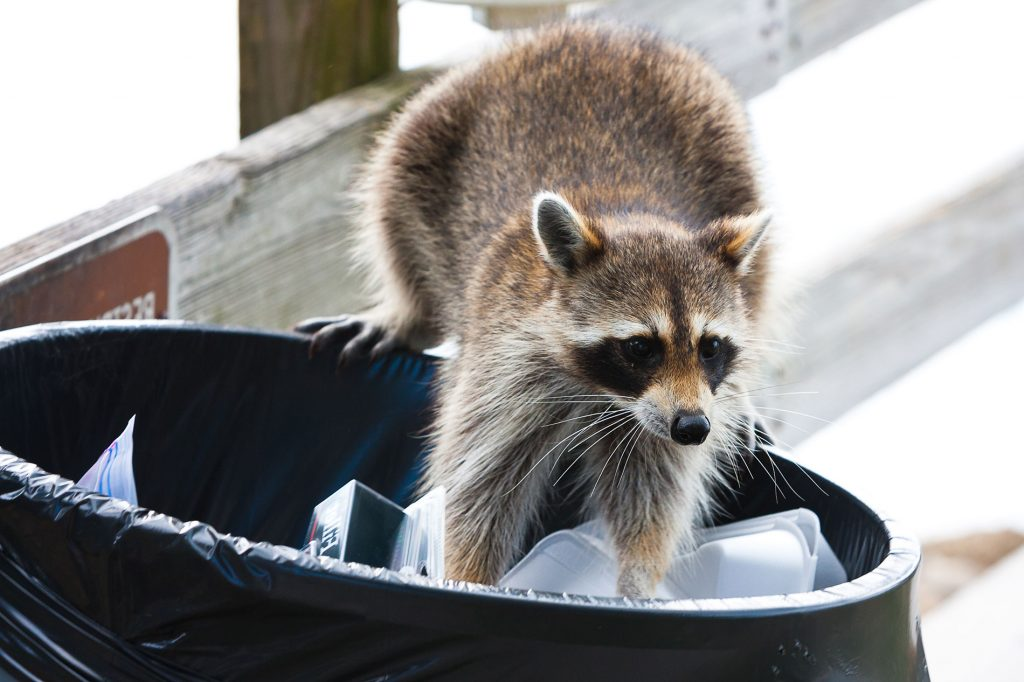 Animal Removal Services Of Virginia, Humane Raccoon Trapping Removal Experts stop raccoons from getting into your Virginia garbage cans.
