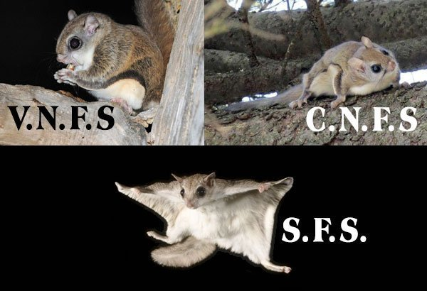 Photo of flying Squirrels. Animal Removal Services Of Virginia - Humane Flying Squirrel Removal And Trapping Experts.