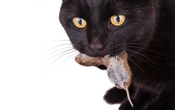 Cats are a great protector against mice. But, they can't always get at all your mice problems. Your cat will eat a dead mouse! And if that dead mouse contains poison that is not ecologically safe you may lose a loved cat. Contact us first before using any mice poisons, PLEASE! A photo.