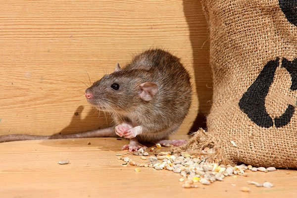 the Norway Rat can enter home through a hole as small as the size of a quarter. A Photo