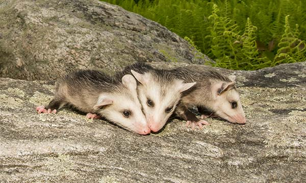 Virginia State law allows you to trap an opossum but then you must either release it on your property or euthanize it.