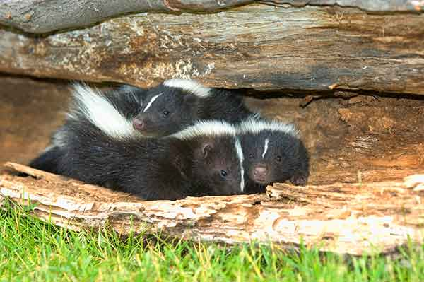 Mother skunks will give birth to their offspring in various areas as well as under your porch, decks, garages and  buildings.