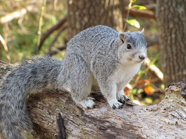 Animal Removal Services Of Virginia - Humane Squirrel Trapping Removal Experts photo of Delmarva fox squirrel.