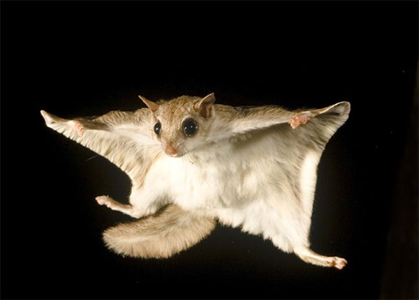 Animal Removal Services of Virginia offers flying squirrel removal throughout Virginia