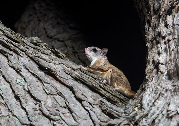 Flying squirrels have big eyes so they can see better at night.