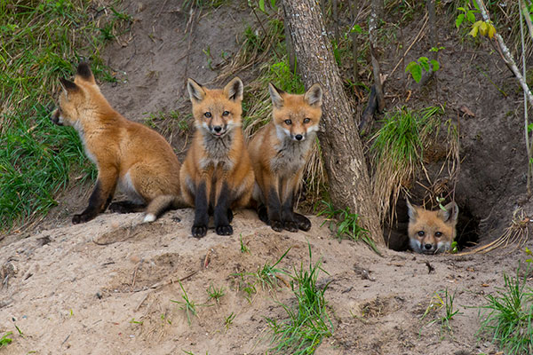 Have you found fox kits on your Virginia property? If so please leave them alone or call Animal Removal Services Of Virginia's expert Virginia red fox trapping removal services