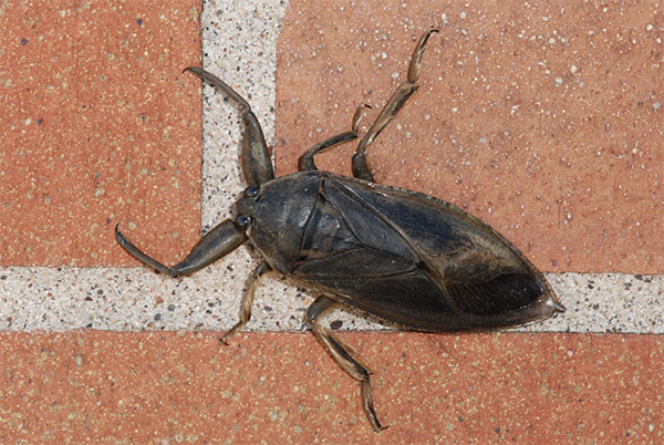 Animal Removal Services Of Virginia Nuisance Insect Pest Control And Extermination and Giant Water Bug Control photo.