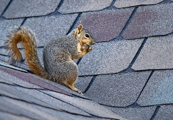 Seeing a gray squirrel on your roof is a not good. If this critter gets into your attic and decides to nest there you could run into a number of sleepless nights and heavy attic damage.A gray squirrel photo.