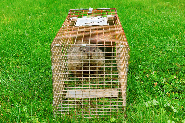 Animal Removal Services of Virginia groundhog in a trap