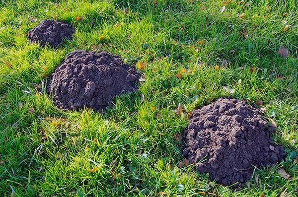Call Animal Removal Services Of Virginia for our expert Virginia Mole Trapping Removal services.