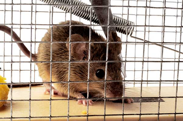 Animal Removal Services Of Virginia Mice Trapping Removal Experts have many Virginia mice trapping devices. This trap, a humane trap, will quickly sang these little critters. A Photo.