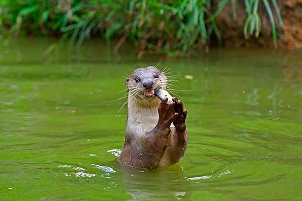 Do you have stocked game fish or any fish for that matter in your Virginia pond.  If you live near a larger body of water you may soon see an otter having a meal of your fish photo.