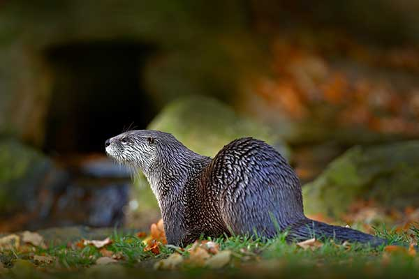 Contact Animal Removal Services Of Virginia's Humane Otter Trapping Removal Experts if you are having Virginia otter problems.