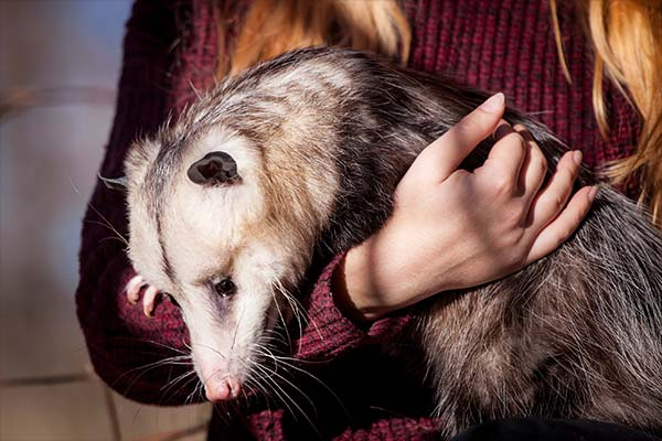 You can keep any opossum Animal Removal Services Of Virginia traps on you property.