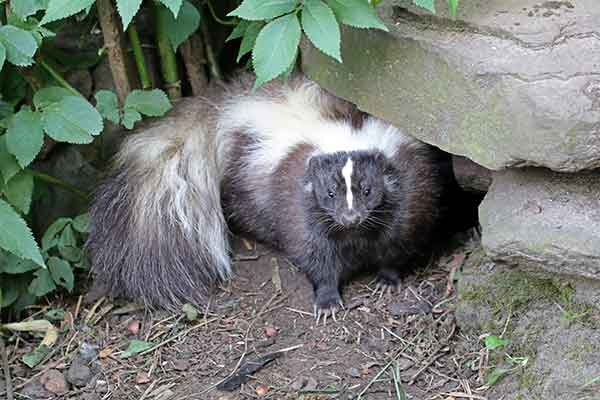 Skunks should not be needlessly destroyed. They are highly beneficial to farmers, gardeners, and landowners because they feed on large numbers of agricultural and garden pests. But they can become nuisance pests that will cause problems. Always try you best to modify your environment so skunks won't want to be on your property - photo of skunk near stone wall.