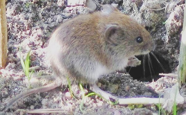 If you are unsure whether you have a vole or mouse issue - voles have short tails while mice have longer tails near the length of their bodies. Voles are also bigger and heavier than a house mouse. Animal Removal Services Of Virginia - Humane Vole Trapping Removal Experts vole photo.